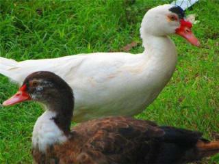 Manila Ducks