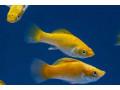 molly-fish-small-0