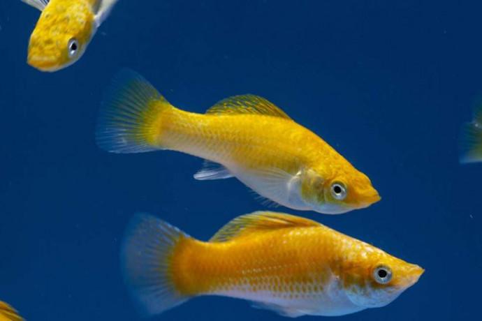molly-fish-big-0