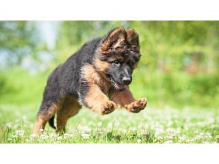 Germen shepherd puppy