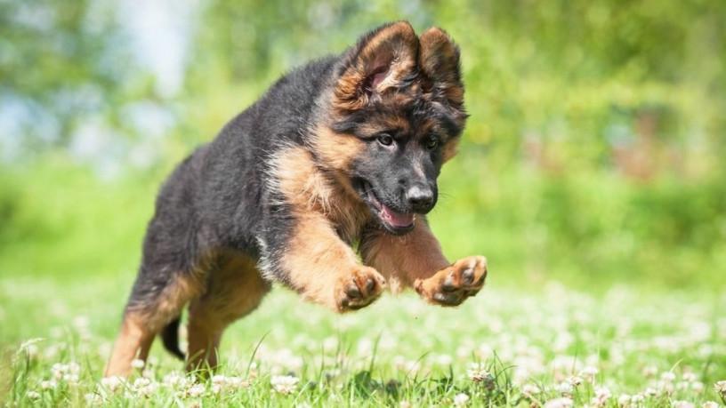 germen-shepherd-puppy-big-0