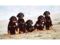 doberman-pinscher-puppies-small-0