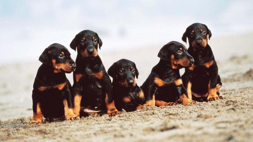 doberman-pinscher-puppies-big-0